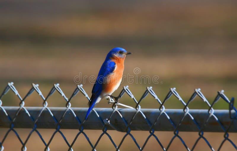 Uccellino azzurro su un recinto del collegamento a catena immagine stock libera da diritti