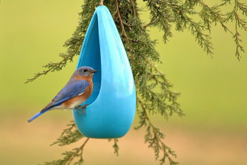 Uccellino azzurro sull'alimentatore immagini stock
