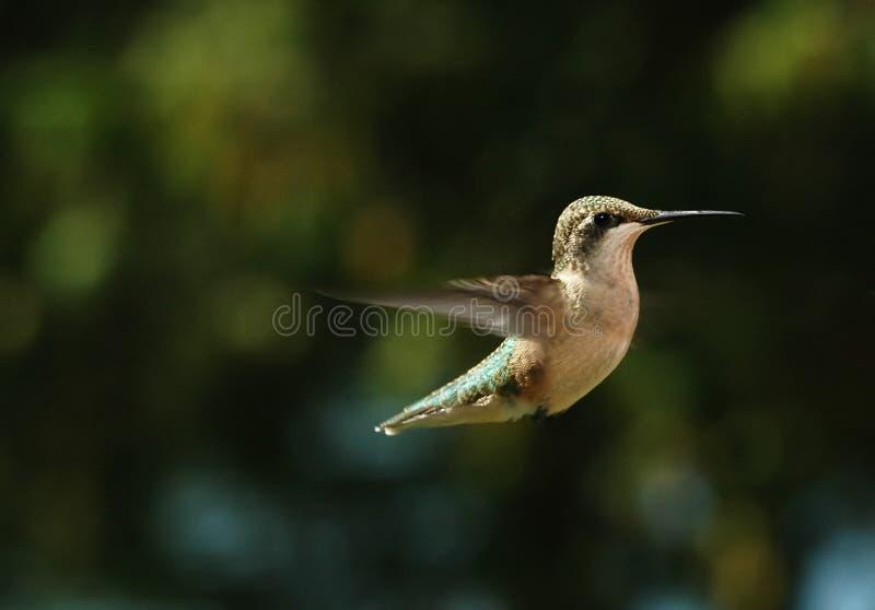 Uccello 3 di ronzio fotografia stock libera da diritti