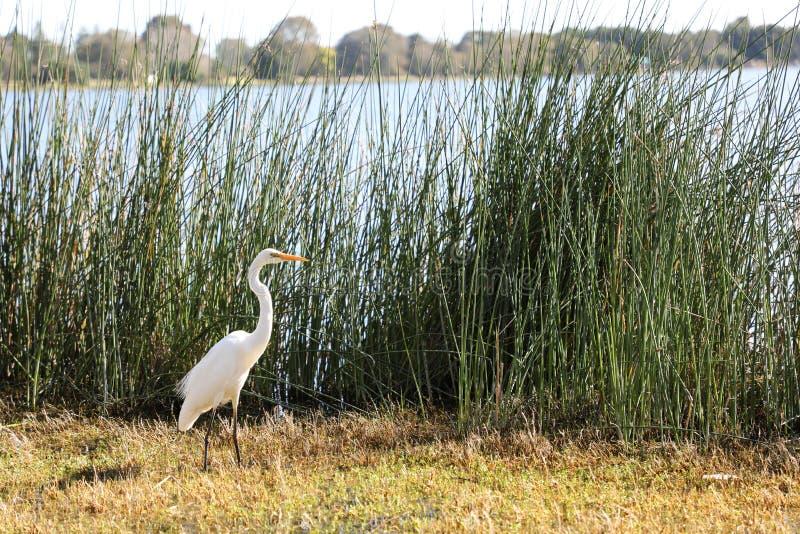 Uccello acquatico in erba alta fotografia stock libera da diritti