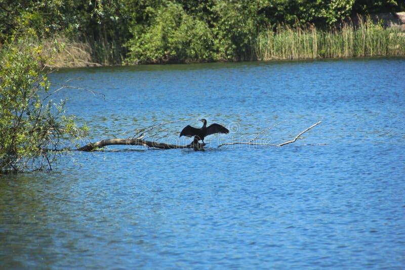 Uccello acquatico su un lago a Berlino immagine stock libera da diritti
