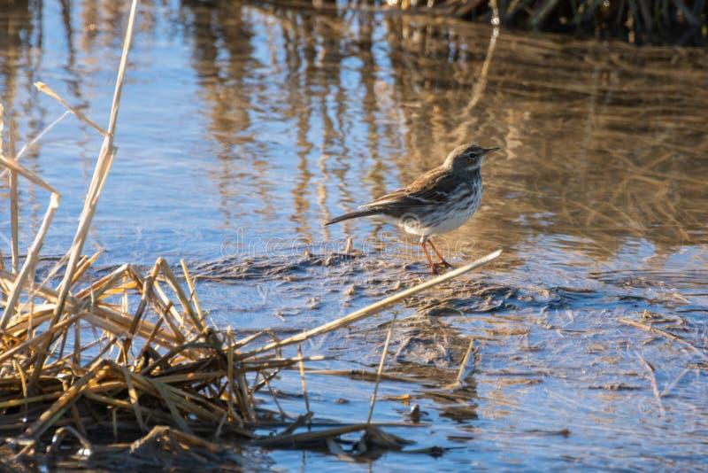 Uccello ad alba in un giacimento sommerso del riso nel parco naturale di Albufera, Valencia, Spagna fondo della natura ed acqua p immagini stock