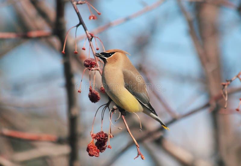 Uccello adorabile del waxwing di cedro Conclusione dell'inverno fotografie stock libere da diritti