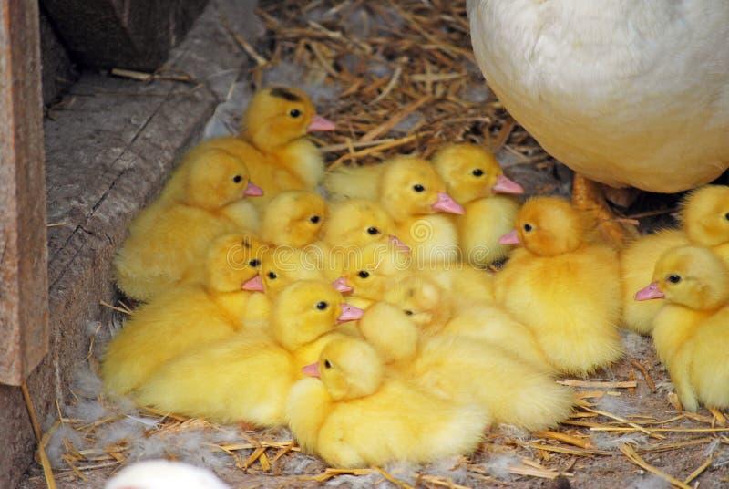 Uccello adulto Indoda bianco su un'azienda agricola con una nidiata Piccolo polli gialli sta sedendo in un mucchio accanto alla m immagini stock libere da diritti