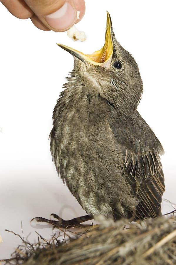 Uccello affamato piccolo d'alimentazione fotografie stock
