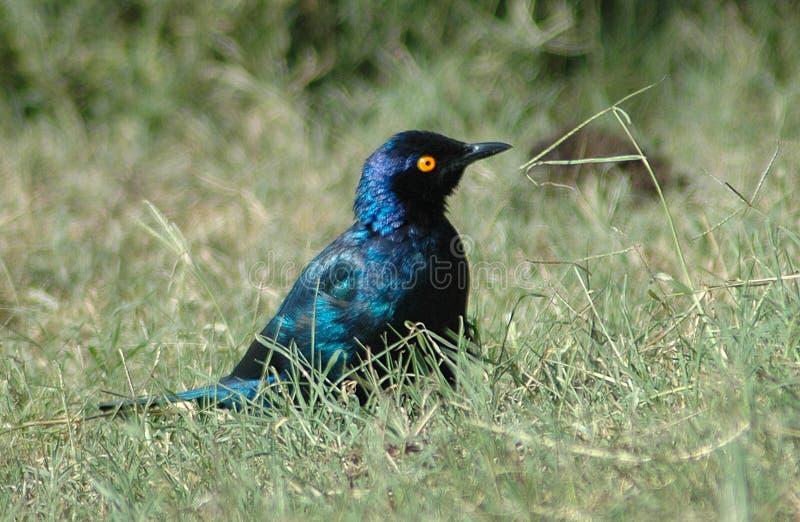 Uccello africano fotografia stock libera da diritti