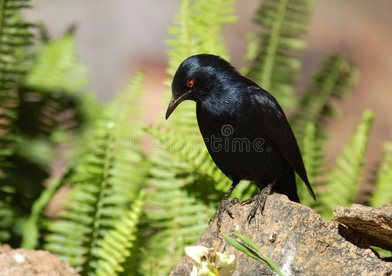 Uccello africano: Palewinged Starling immagini stock