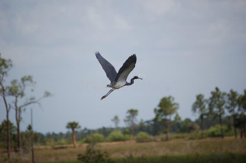 Uccello - airone Tri-colorato durante il volo fotografia stock