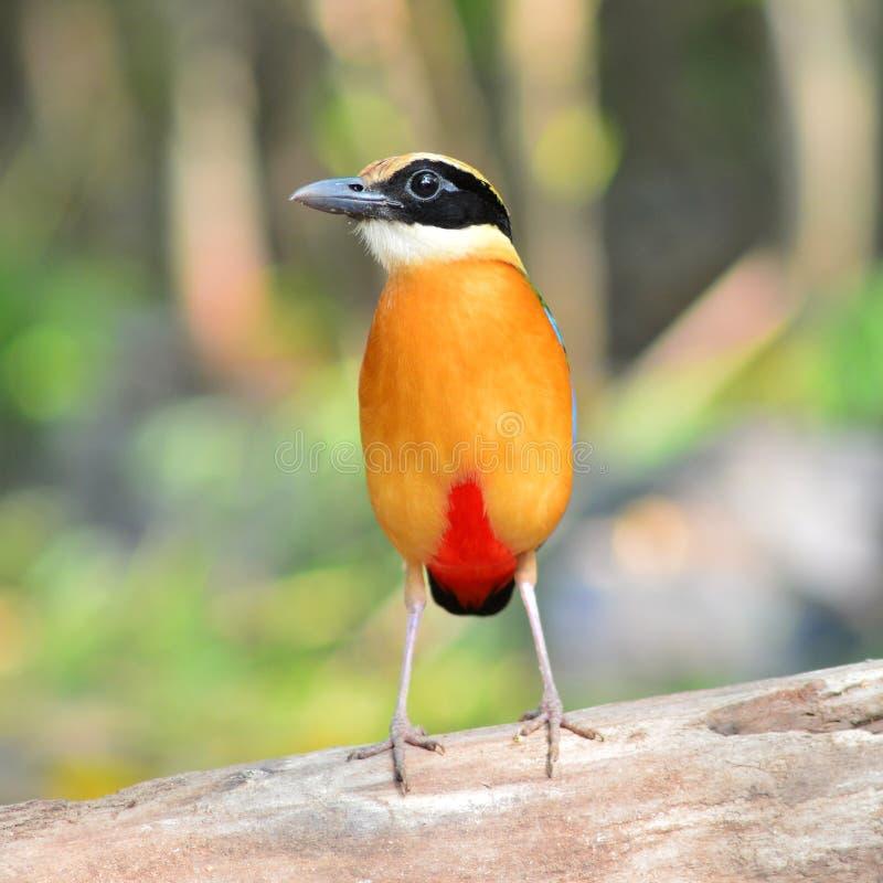 Uccello alato blu di Pitta fotografia stock