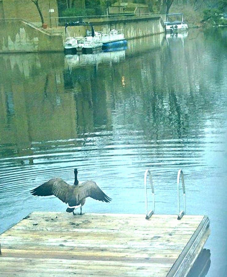 Uccello alato sopra sul bacino fotografie stock