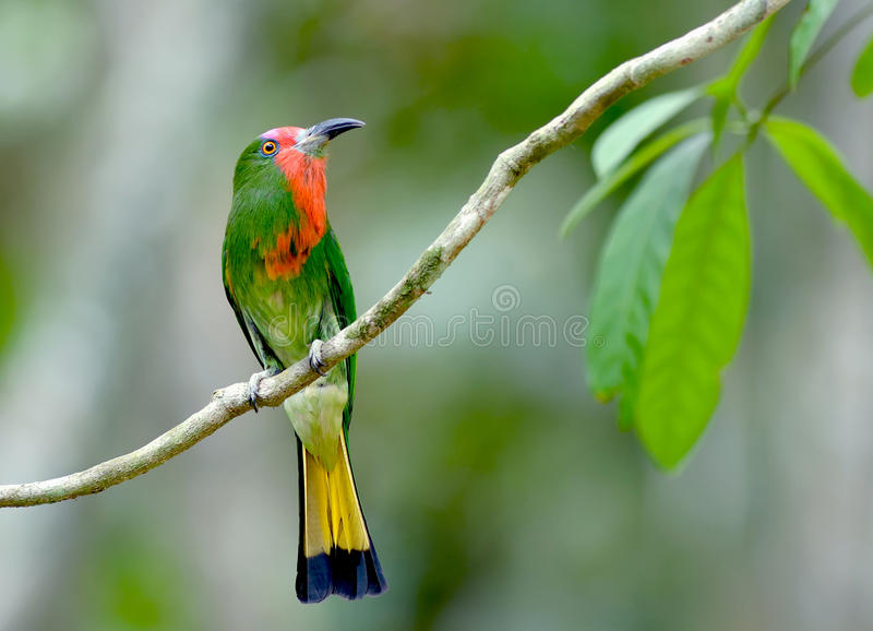Uccello (Ape-mangiatore Rosso-barbuto), Tailandia immagine stock