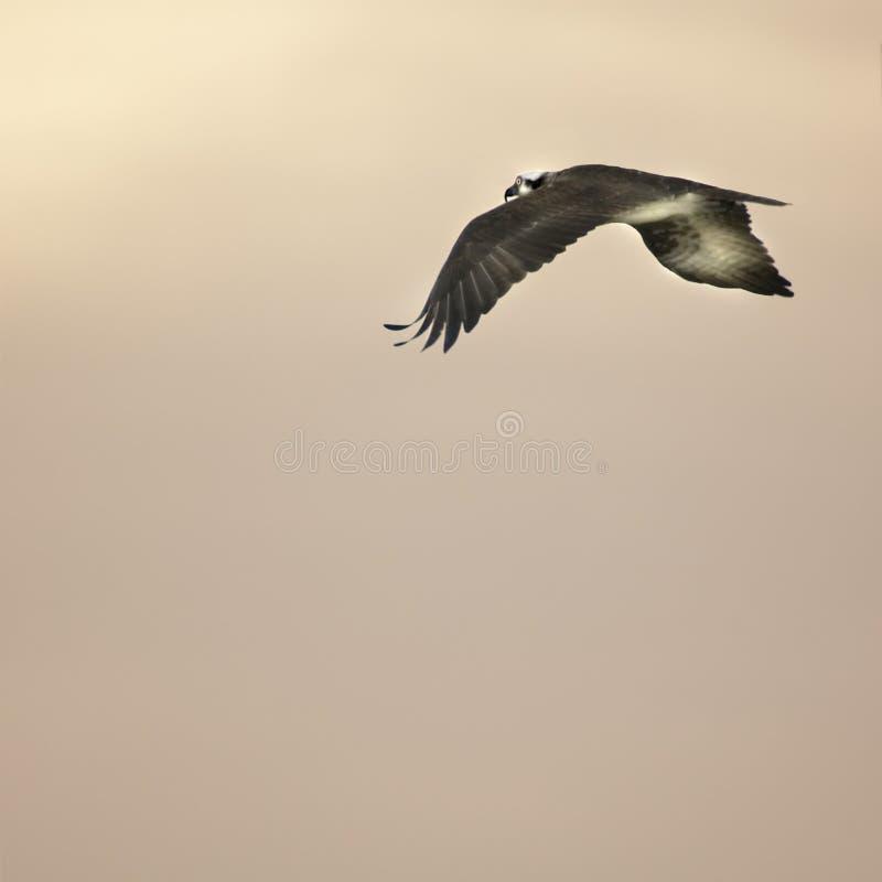 Uccello in ascesa al tramonto fotografia stock