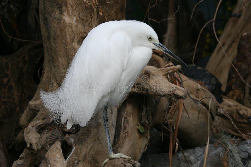 Uccello bianco fotografia stock libera da diritti