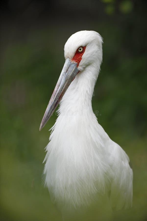 Uccello bianco del ritratto, cicogna di Maguari, maguari di Ciconia immagine stock