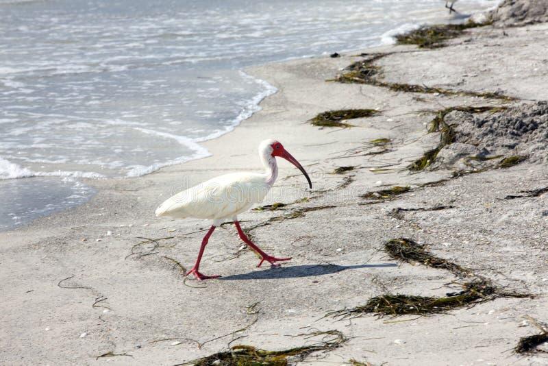 Uccello bianco dell'Ibis sulla spiaggia vicino ad acqua fotografia stock