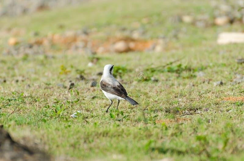 Uccello bianco e nero che cerca alimento immagini stock libere da diritti