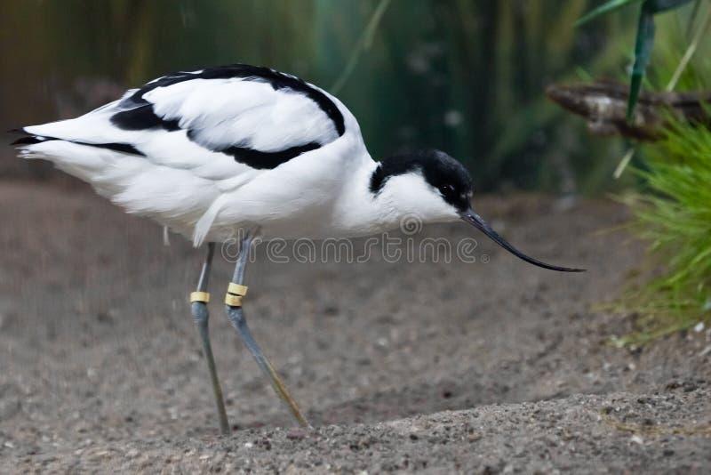 Uccello in bianco e nero con un'avocetta pezzata del piovanello lungo del becco sui precedenti di verde immagine stock