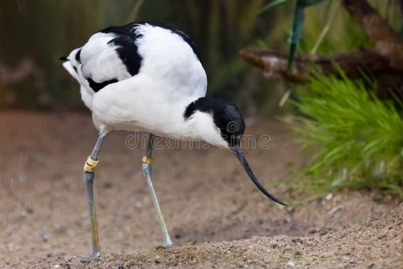 Uccello in bianco e nero con un'avocetta pezzata del piovanello lungo del becco sui precedenti di verde fotografia stock