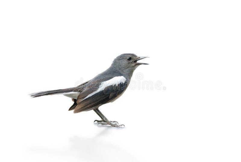 Uccello in bianco e nero, gazza Robin isolato su fondo bianco fotografia stock