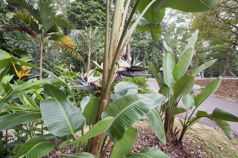 Uccello bianco gigante dell'albero di paradiso con i fiori fotografie stock libere da diritti