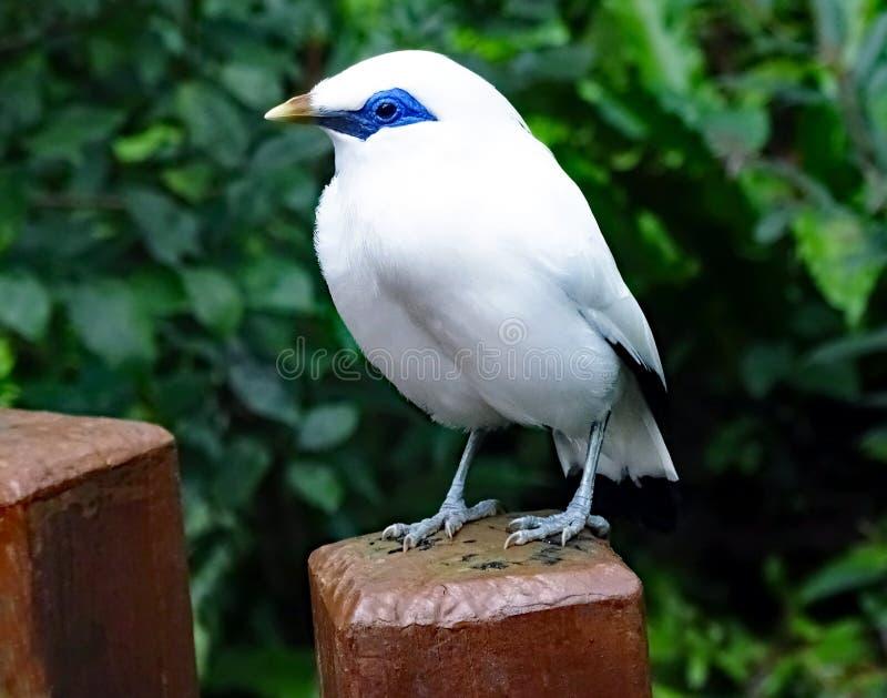 Uccello bianco nominato rothschildi di Bali Starling Leucopsar fotografia stock