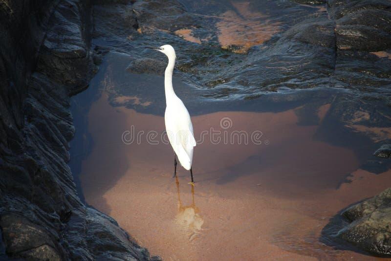 Uccello bianco in oceano fotografia stock