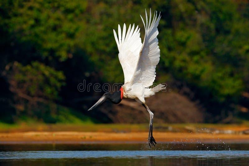 Uccello bianco volante nel volo tropicale del jabiru della foresta Jabiru, mycteria di Jabiru, uccello in bianco e nero nell'acqu fotografia stock libera da diritti