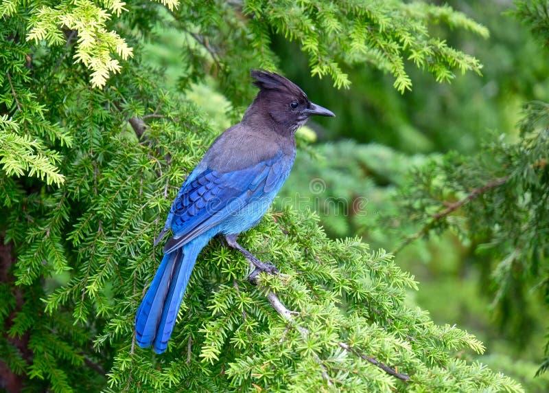 Uccello blu in albero fotografie stock
