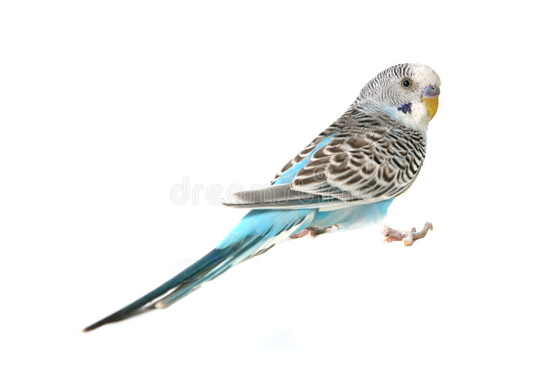 Uccello blu del Parakeet di Budgie fotografia stock libera da diritti