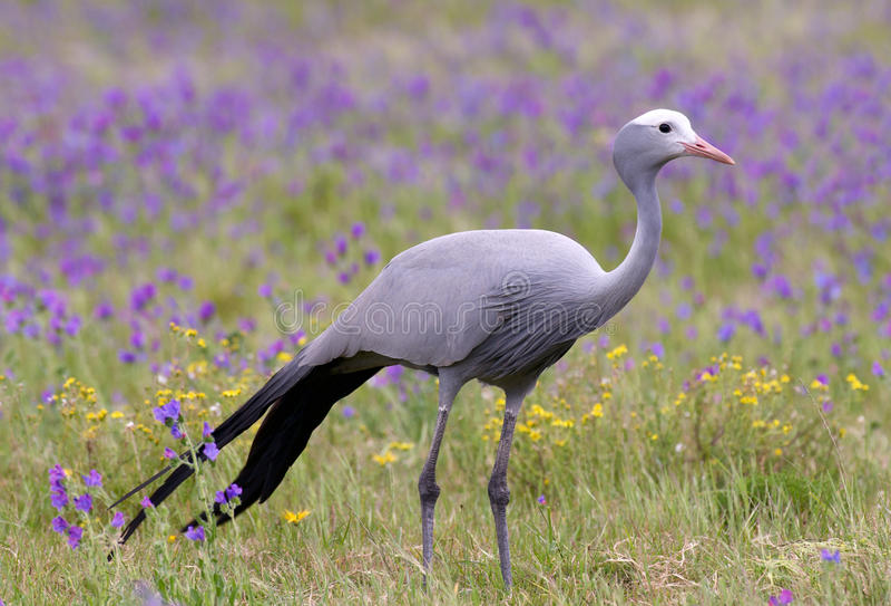Uccello blu della gru immagini stock libere da diritti