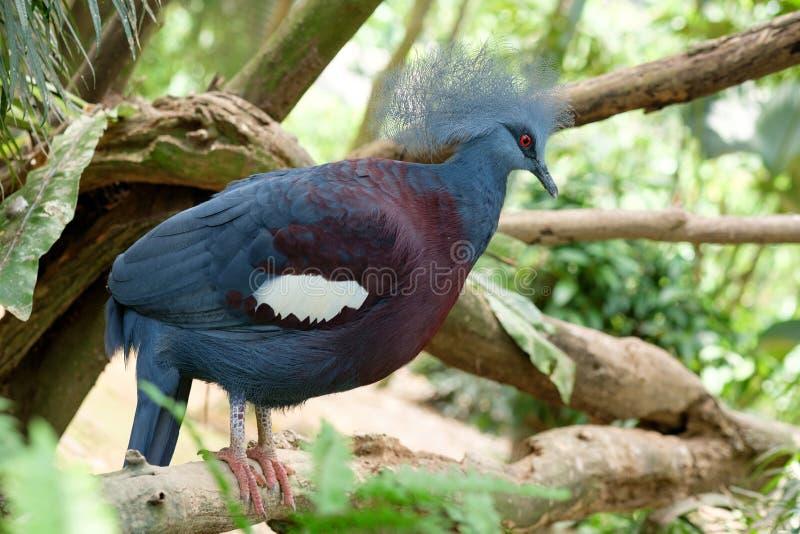 Uccello blu femminile del fagiano fotografia stock