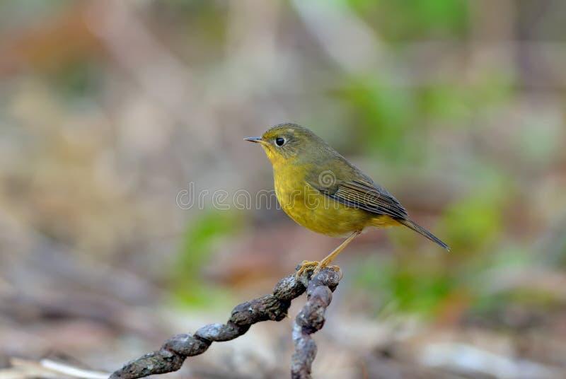Uccello (Bush-Robin dorato), Tailandia immagini stock