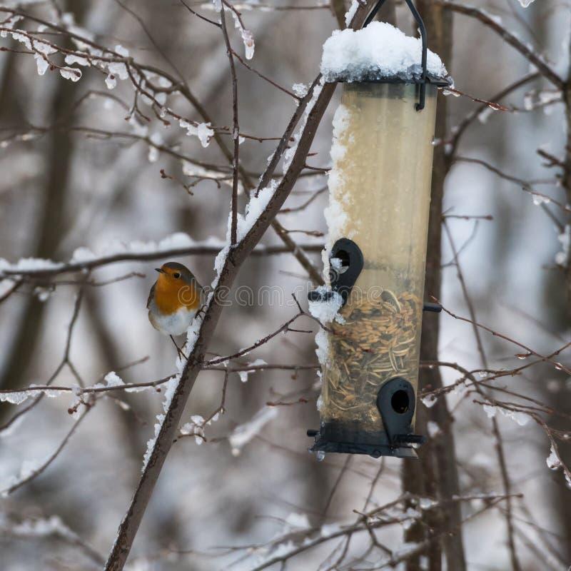 Uccello canoro da un alimentatore dell'uccello fotografia stock libera da diritti