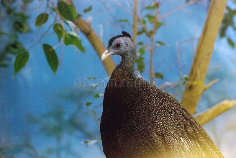 Uccello capo del blu immagine stock libera da diritti