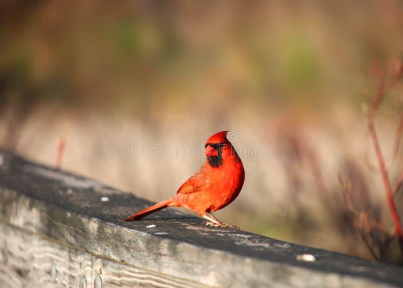 Uccello cardinale fotografia stock