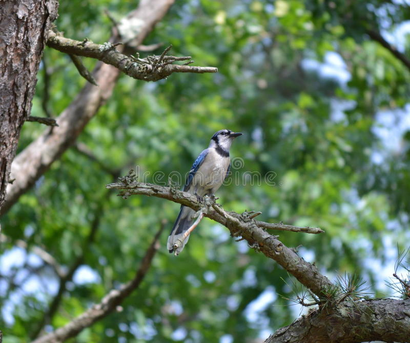 Download Uccello cardinale immagine stock. Immagine di predatori - 55356067