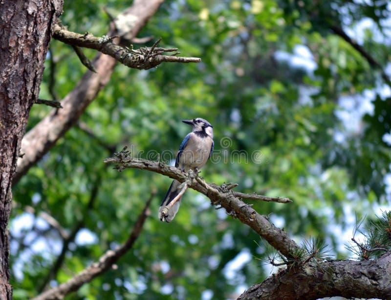 Download Uccello cardinale immagine stock. Immagine di albero - 55356069