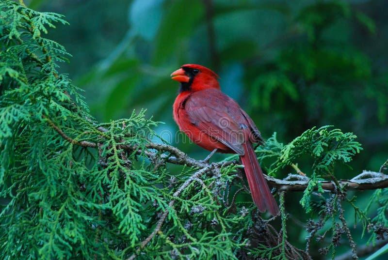 Uccello cardinale immagine stock libera da diritti