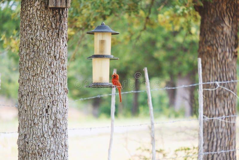 Uccello cardinale all'alimentatore nell'iarda immagine stock libera da diritti