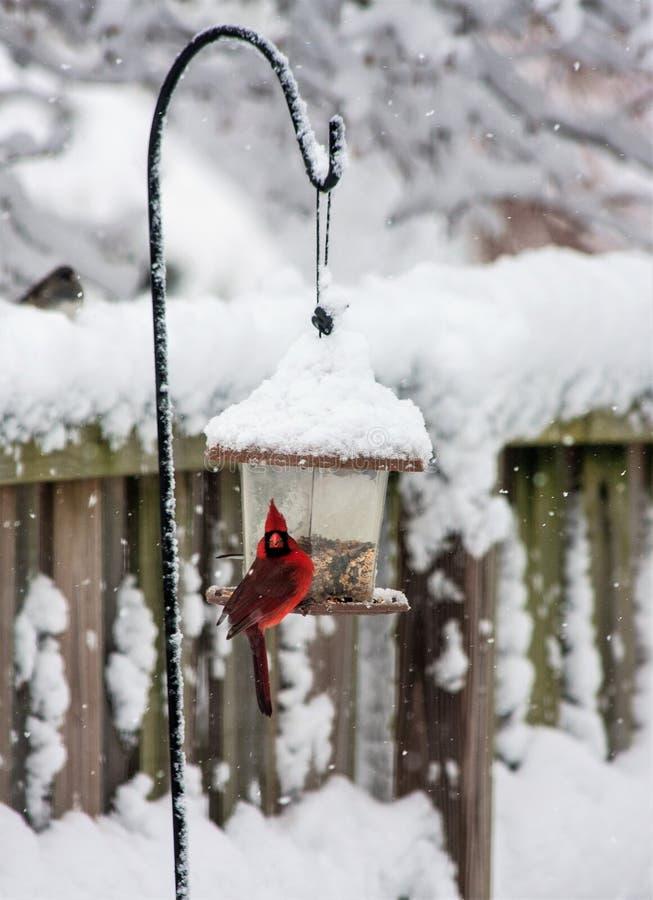 Uccello cardinale maschio sull'alimentatore dell'uccello fotografie stock
