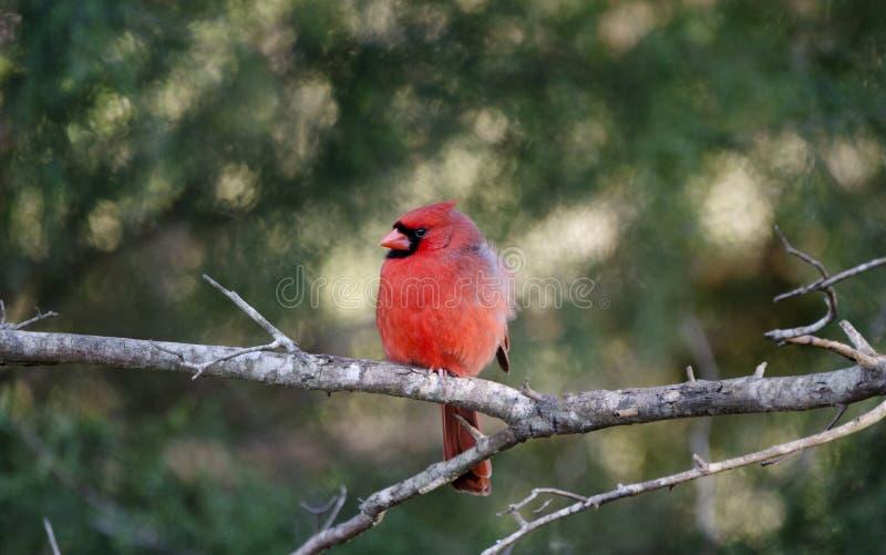 Uccello cardinale nordico, Monroe, Georgia, U.S.A. immagini stock libere da diritti