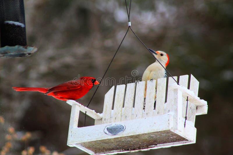 Uccello cardinale rosso luminoso sull'alimentatore immagine stock libera da diritti