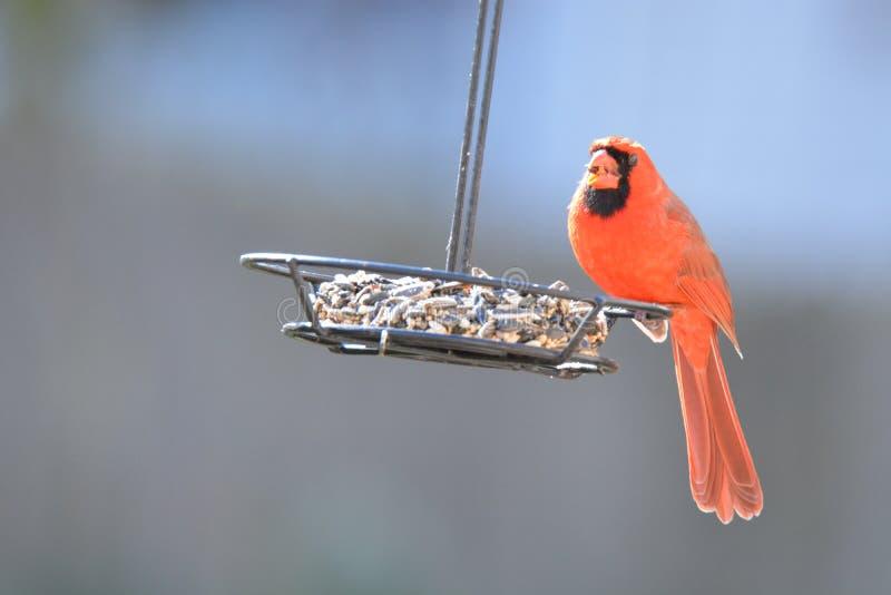 Uccello Carinal al mio alimentatore immagini stock libere da diritti