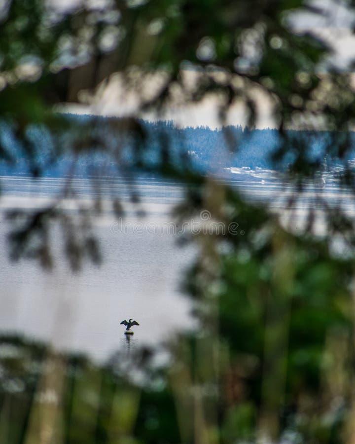 Uccello che asciuga le sue ali sull'acqua immagini stock libere da diritti