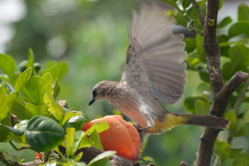 Uccello che fa un passo su una papaia caduta fotografia stock libera da diritti