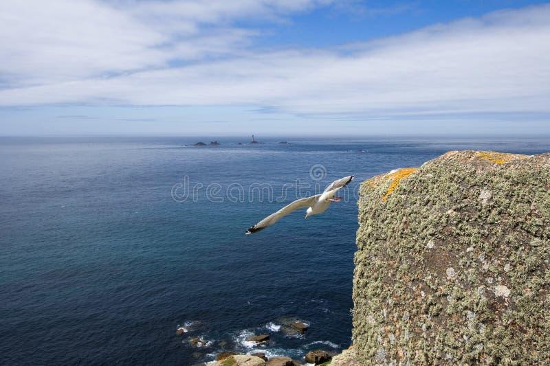 Uccello che prende volo da una scogliera in Cornovaglia immagine stock libera da diritti