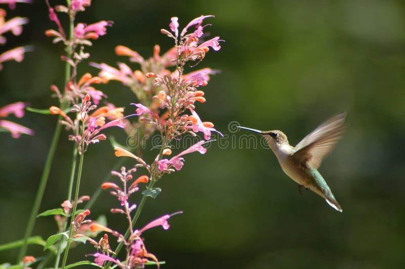 uccello che ronza fotografia stock libera da diritti