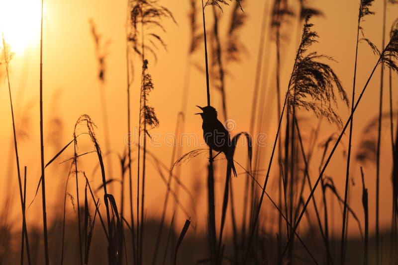 Uccello che si siede nelle canne che cantano canzone immagine stock libera da diritti