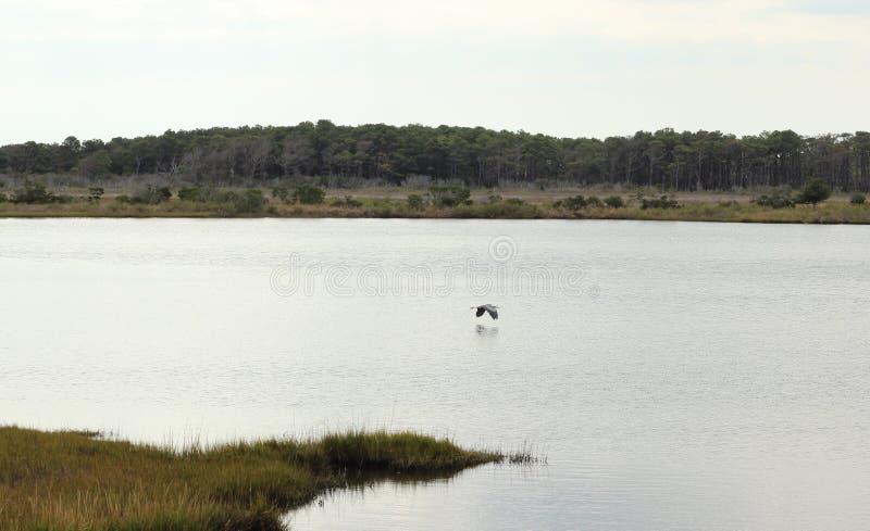 Uccello che sorvola l'acqua fotografia stock libera da diritti