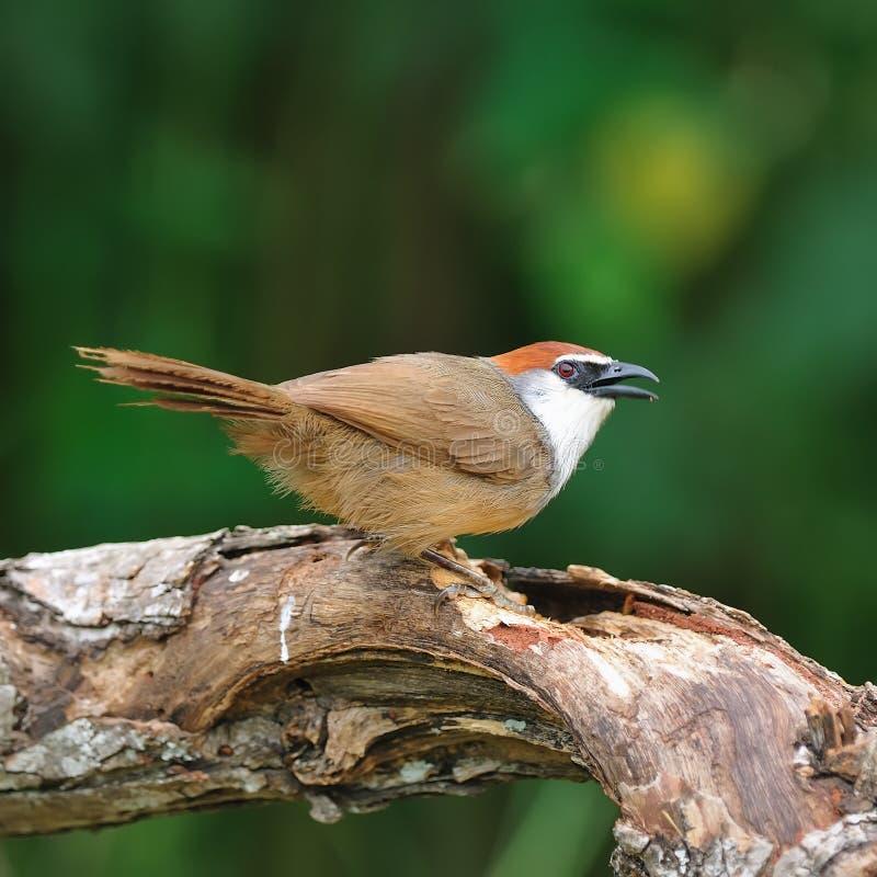 Uccello (chiacchierone Castagna-ricoperto), Tailandia immagine stock libera da diritti